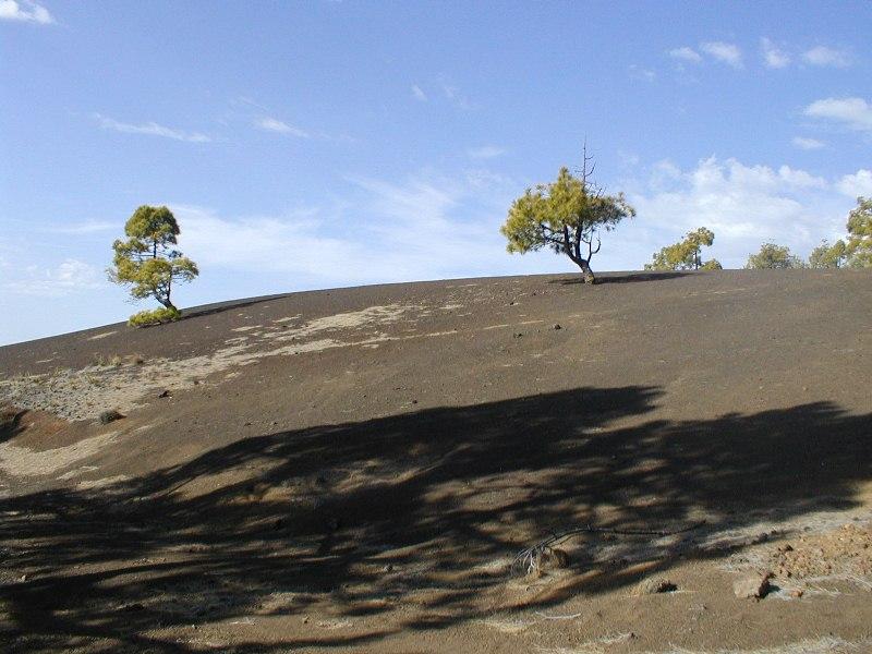 Pine trees in Tenerife.