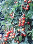 Justens Zuckertomaten (Justens Sugar Tomatoes)