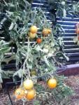 Tomatoes Auriga
