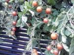 Tomatoes Black Cherry