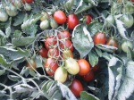 Tomatoes Black Plum