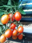 Tomatoes Naama