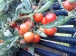 Tomatoes Veni Vidi Vici