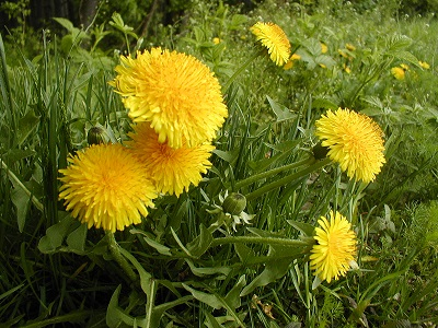 Dandelions at Home