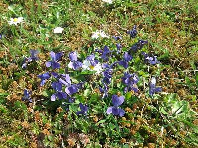 Violets, Daisies, Stonecrop, Yarrow