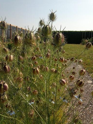 nigella-seed-capsules