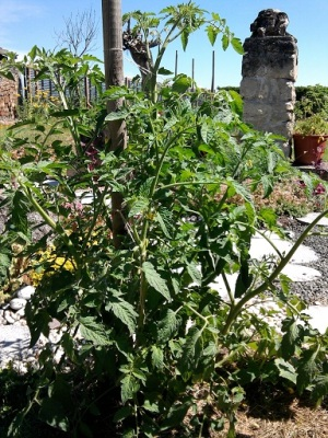 Tomatoe Plant